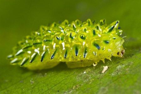 Acraga coa - кристальная гусеница (Интересное животное)