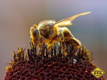 Ядовитый мёд - новая защитная стратегия пчел! (Факт)