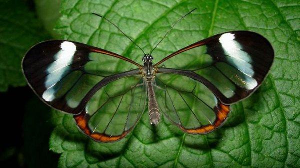 Стеклянная бабочка Грета Ото (Интересная статья)
