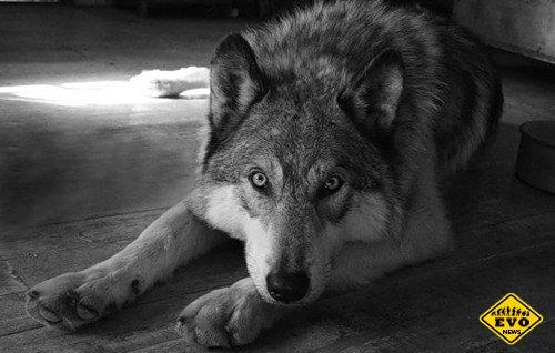 5 интересных фактов о волках (Факты о животных)