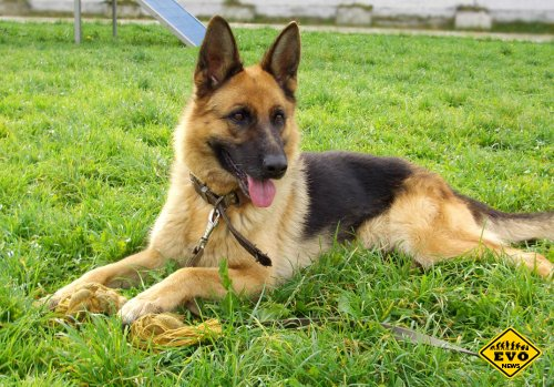 Немецкие овчарки - известная порода собак