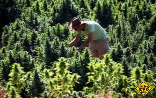 Новый лечебный сорт марихуаны не вызывает одурманивание
