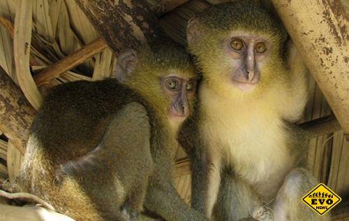 В Конго обитают лесулы — новый вид обезьян