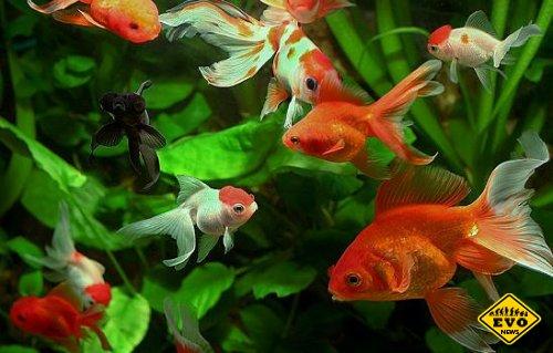 В Китае проходит международный конкурс золотых рыбок