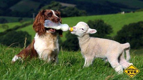 В Англии живет самая необычная в мире овца