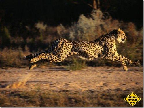 Скорость гепарда обусловлена особенностями анатомии