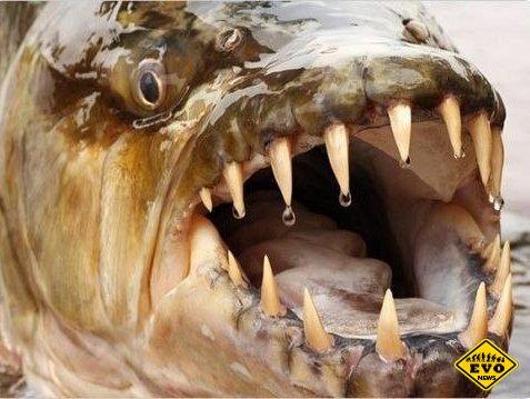 Большая тигровая рыба (Статья)