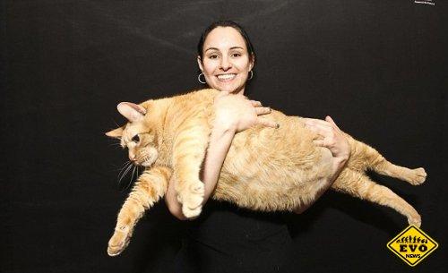 Самый толстый кот в мире весит как четырехлетний ребенок
