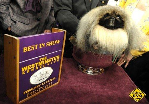 Пекинес впервые за 112 лет победил в самом престижном конкурсе собак