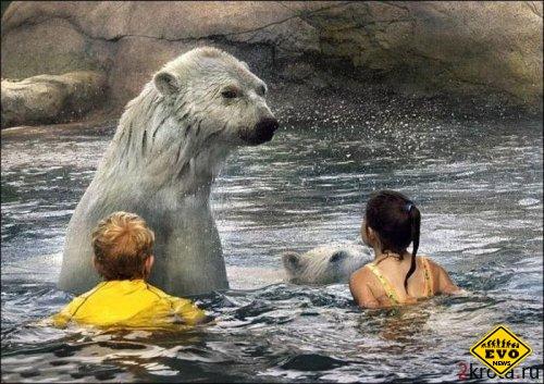 Любители экстрима могут поплавать вместе с белыми медведями