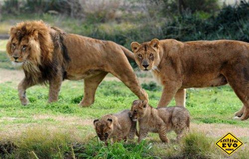Особенности жизни в львином прайде (Статья)