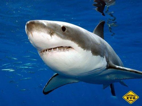 Самые тихоходные в мире акулы имеют скорость...