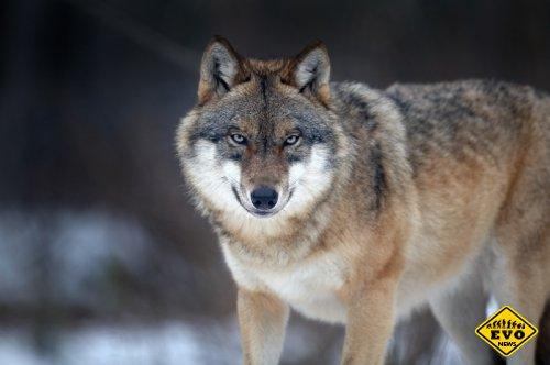 Рацион питания волков (Интересные факты)