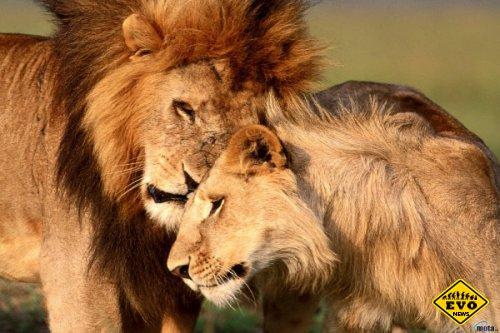 Странные любовные игры у животных (Статья)