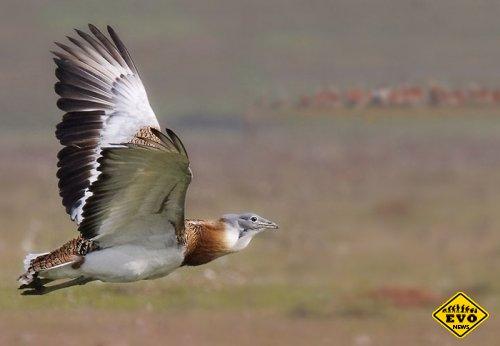 Самая тяжелая птица (Интересный факт)