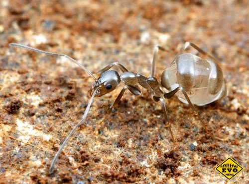 Сладкие медовые муравьи обитающие в пустынях Мексики