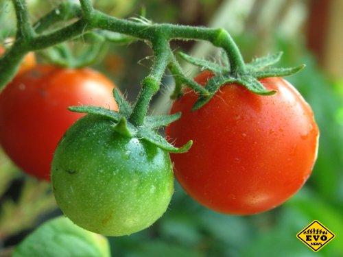 Как отличить помидоры с нитратами от экологически чистых?