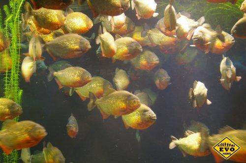 Можно ли дрессировать рыб? (Статья)