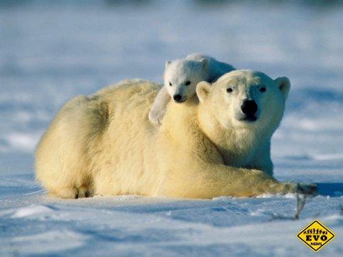 Белые медведи оказались намного выносливее, чем считалось