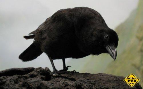 Интересные факты о воронах (А Вы знали это?)