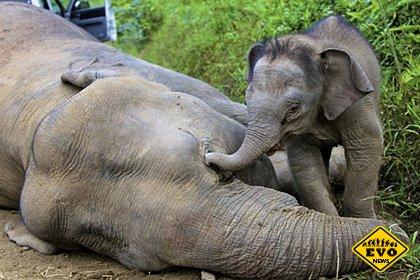 Малазийские ученые будут контролировать слонов по GPS