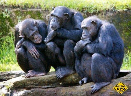 Зоологи раскрыли коварные замыслы шимпанзе
