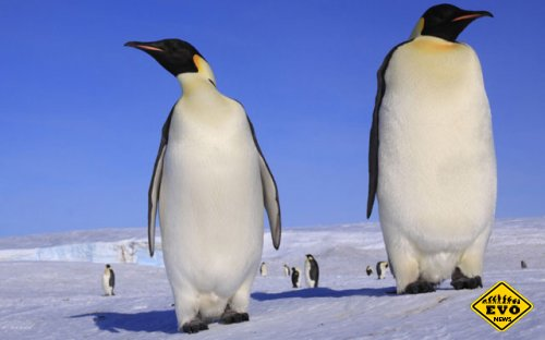 Доисторический пингвин были полтора раза больше