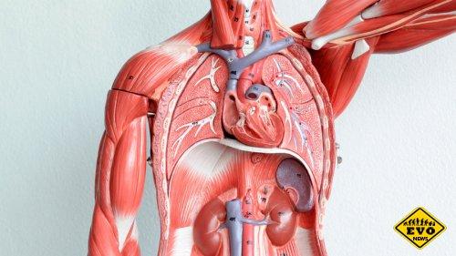 10 наиболее интересных фактов о наших внутренних органах
