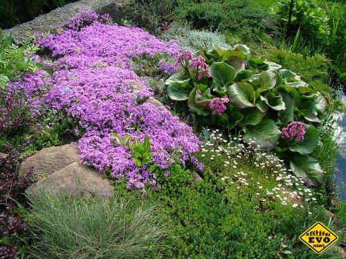 Бадан – красивый цветок
