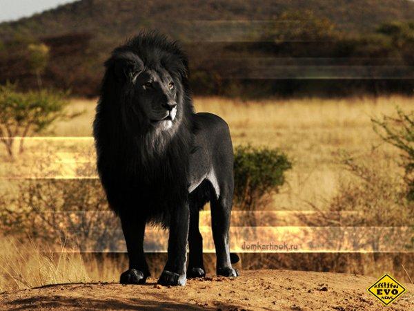 Черный лев. Правда или миф?