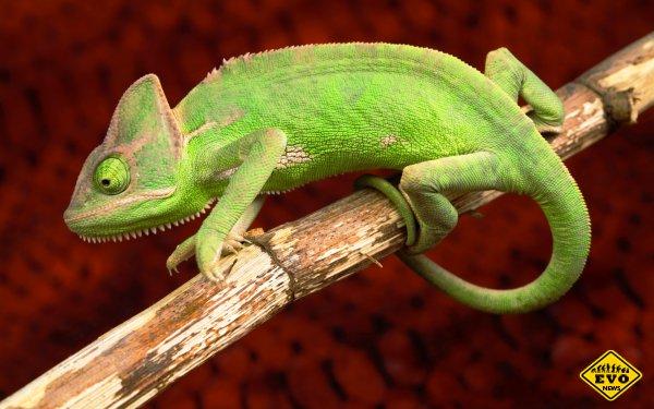 Язык хамелеона разгоняется до 100 км/ч за сотую долю секунды