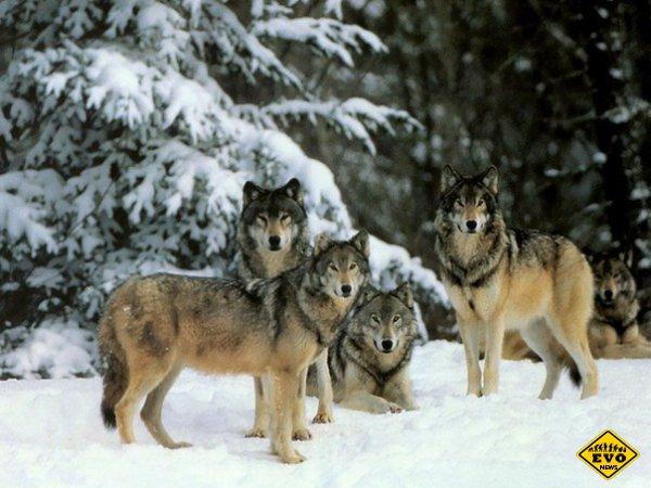 Наглядная польза от волков и их влияние на экосистему