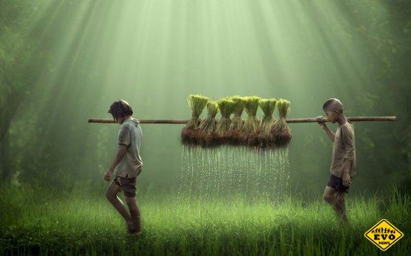 Рис считается самым крупным работодателем в мире
