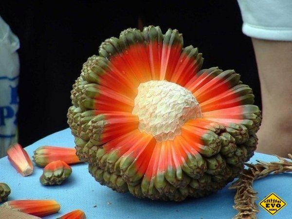 Экзотический фрукт под названием Hala