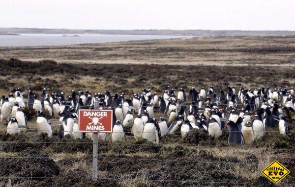 Пингвины живущие ходящие по минам