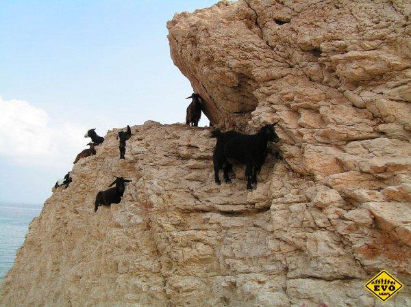 Удивительные горные козлы
