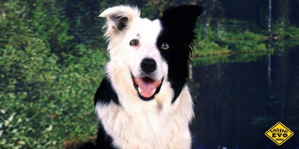 Самая умная собака в мире знает более 1000 слов