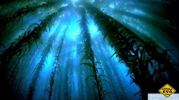 Самые длинные водоросли