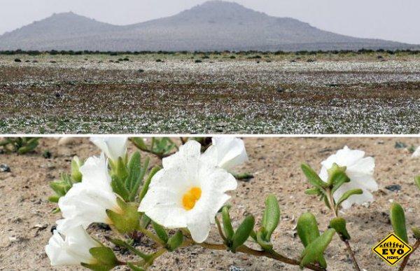 В самой засушливой пустыне мира выросли цветы