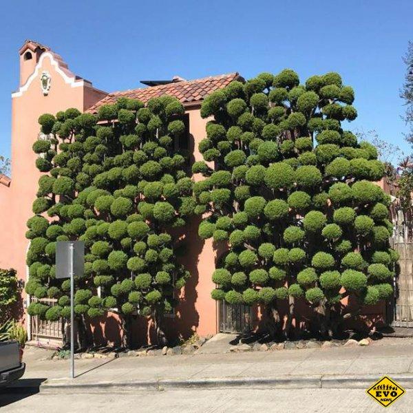 Kelsey McClellan серия снимков деревьев необычной формы в районе Аутер Сансет в Сан-Франциско