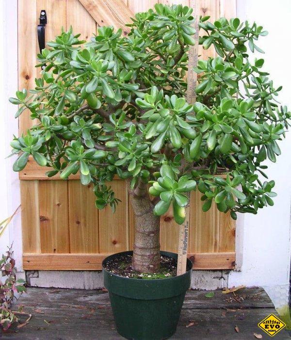 Денежное дерево, лечит или отравляет?