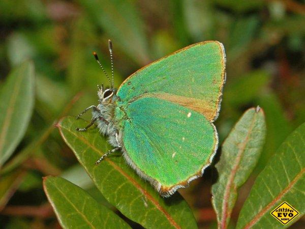 Бабочка, вдохновившая появление новой нанотехнологии